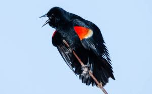 A red-winged blackbird squawks aggressively